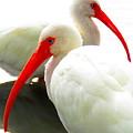White Ibis by Gordon Castle