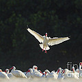 White Ibis In Flight Over Flock by Marie Read