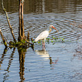 White Ibis In The Charleston Low Country by Donnie Whitaker