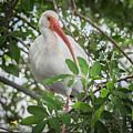 White Ibis by Jim Thompson