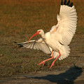 White Ibis Landing Upon Ground by Max Allen