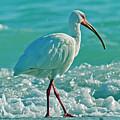 White Ibis Paradise by Betsy Knapp
