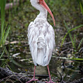 White Ibis by Patti Deters