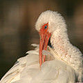 White Ibis Placid Preening by Max Allen