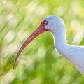 White Ibis Portrait by Debra Martz