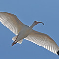 White Ibis Soaring by Alan Lenk