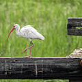 White Ibis Stepping Out by David Ramage