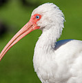 White Ibis by Tim Kathka