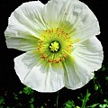White Iceland Poppy by Russell Keating