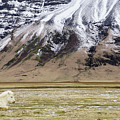 White Icelandic Horse by Brian Kamprath