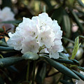 White Inflorence Of  Rhododendron Plant by Jarmo Honkanen