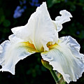 White Iris At Pilgrim Place In Claremont-california by Ruth Hager