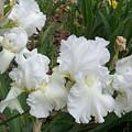 White Iris by Ellen B Pate