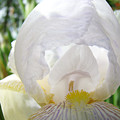 White Iris Flower Art Print Sunlit Irises Baslee Troutman by Baslee Troutman