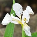 White Iris by Maria Urso