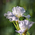 White Iris On Abstract Background #g4 by Leif Sohlman