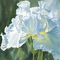 White Iris by Sharon Freeman
