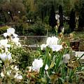White Irises by Codee Pyke