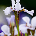 White Japanese Iris 2 by Michael Cummings