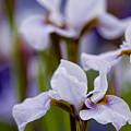 White Japanese Iris by Michael Cummings