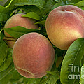 White Lady Peaches On A Branch by Inga Spence