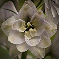 White Larkspur Close Up By Jean Noren by Jean Noren