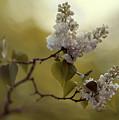 White Lilac  by Jaroslaw Blaminsky
