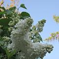 White Lilac by Lyssjart Sj