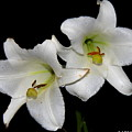 White Lilies by Barbara Bowen