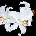 White Lilies by Frank Hamilton
