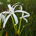 White Lilies In Bloom by Christopher L Thomley