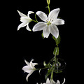 White Lilly With Reflection And Water Drop by Richard Steinberger
