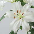 White Lily 2 by Steve Purnell