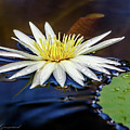White Lily On Pond by Les Greenwood