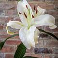 White Lily Portrait by David Head