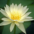 White Lily by Ron Dahlquist - Printscapes