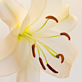 White Lily Square Version by Bill Swindaman