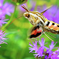 White Lined Sphinx Hummingbird Moth by Greg Norrell