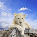 White Lion by Anek Suwannaphoom