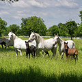 White Lipizzaner Mares Horse Breed With Dark Foals Grazing In A  by Reimar Gaertner