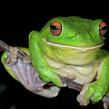 White-lipped Tree Frog by Bruce J Robinson