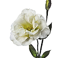 White Lisianthus by Endre Balogh