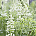 White Lupines by Laura Mace Rand