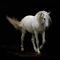 White Lusitano Horse Walking by Christiana Stawski