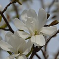 White Magnolia Blooming In Spring by Lena Photo Art