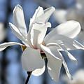 White Magnolia  by Elena Elisseeva