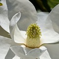 White Magnolia Macro  by Turtle Shoaf