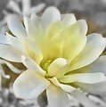 White Magnolia by Mary Pille