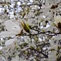 White Magnolia by Michelle Calkins