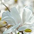 White Magnolia Tree Flower Art Prints Magnolias Baslee Troutman by Baslee Troutman